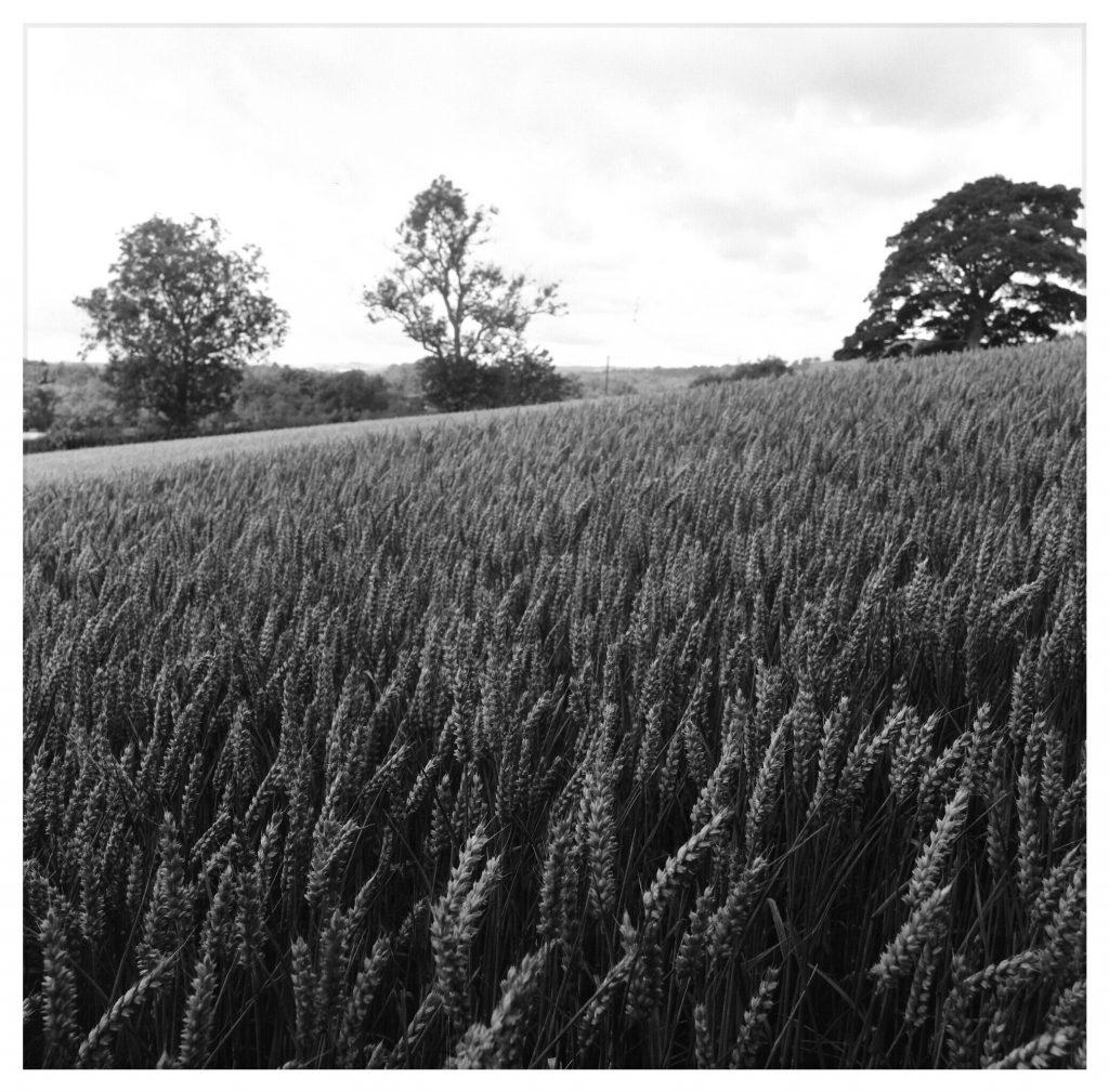 An English cornfield.